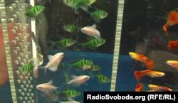 Генномодифіковані риби