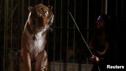 Тигр в цирке, иллюстративное фото