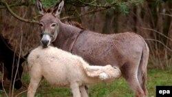 О здоровье и сохранности ослов-альбиносов заботятся специально обученные пастухи