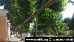 Так выглядели чинары в Избасканском районе до вырубки.