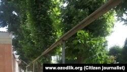 Так выглядели чинары в Избасканском районе до вырубки