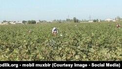 По данным правозащитников, в Узбекистане ежегодно люди умирают прямо на хлопковых полях.