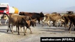 Turkmenistan. A boy taking car of cows in magistral road in Serdar distrcit.