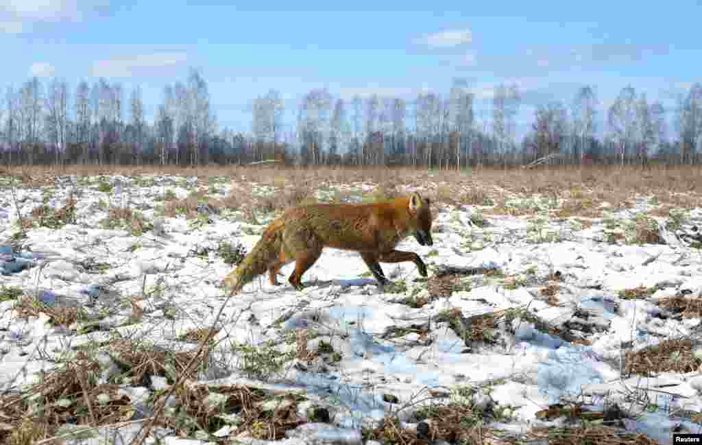 A fox walks through the snow in Babchin, Belarus.