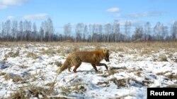 پس از فاجعه چرنوبیل در اوکراین، برخی از مناطق مرزی اوکراین و بلاروس خالی از سکنه شد و زندگی حیوانات رونق گرفت.