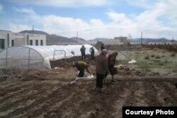 Көкөніс егіп жатқан Моңғолия тұрғындары. Фотография steppenomads.org сайтынан алынды. (Көрнекі сурет)