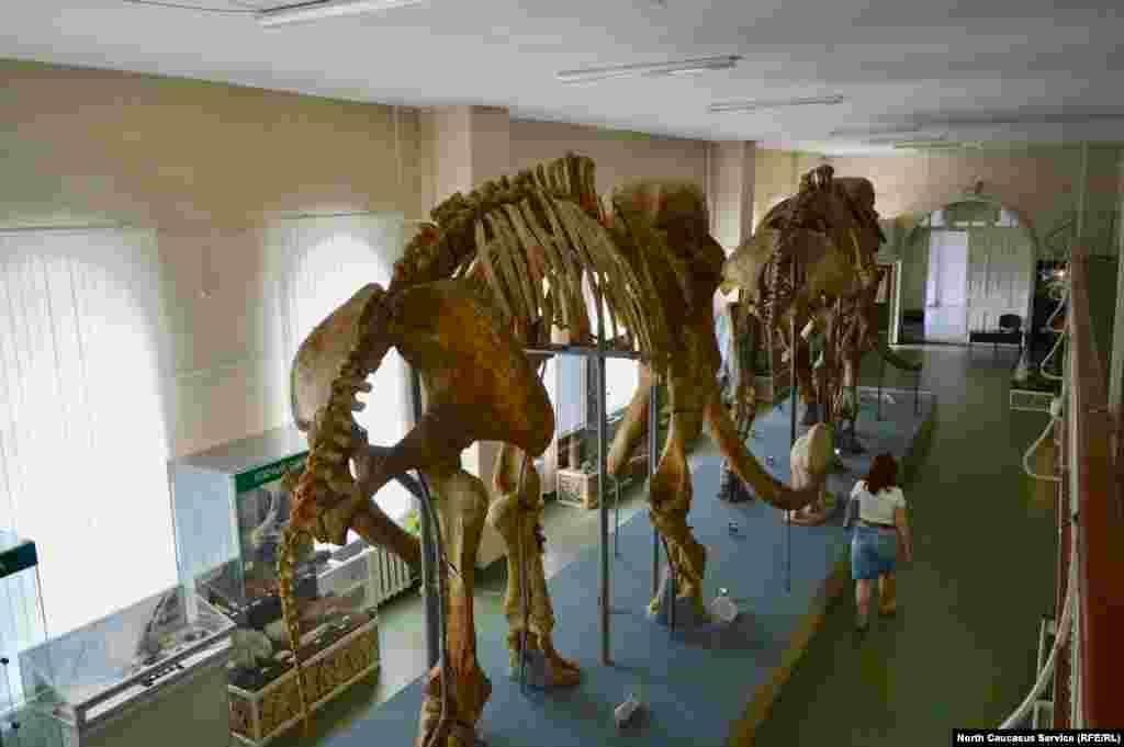 Второго слона нарекли Нюшей – по костям таза ученые определили, что кости принадлежали самке