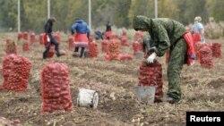 Рабочие из Узбекистана на сборе урожая картофеля в России. Красноярская область, 7 сентября 2015 года.
