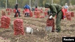 Муҳоҷирони узбек ҳангоми ҷамъоварии картошка дар Красноярск.