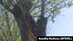 Gövdəsi quruyan Söyüd ağacı