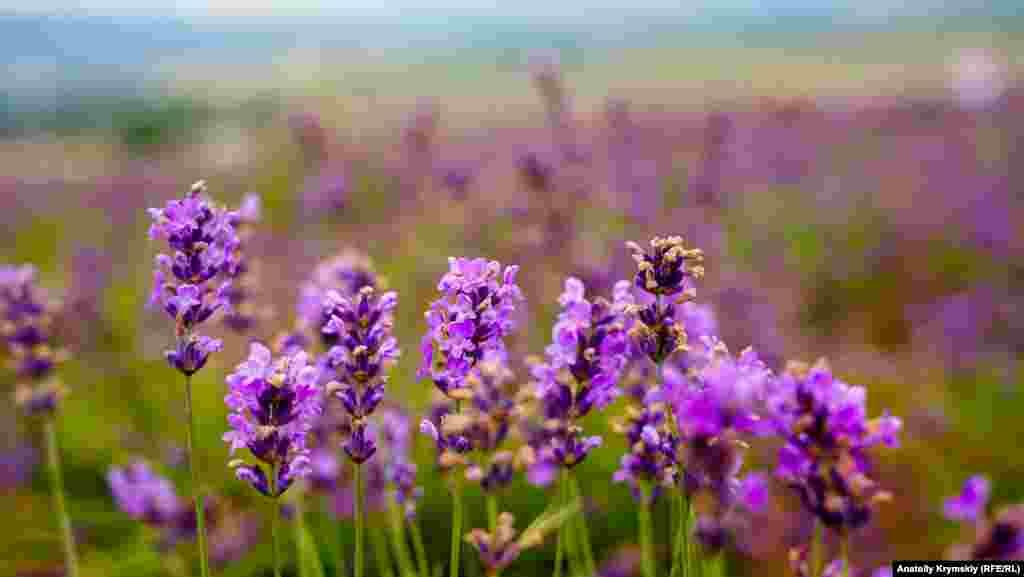 Специалисты аромотерапии уверяют, что аромат лаванды очень полезен слишком эмоциональным людям. Он помогает устранить страх, угнетенное состояние, панику, бессонницу и депрессию