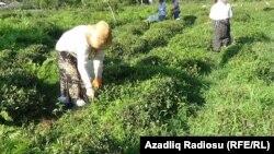 Çay plantasiyası, Azərbaycanın cənub regionu, iyul, 2016