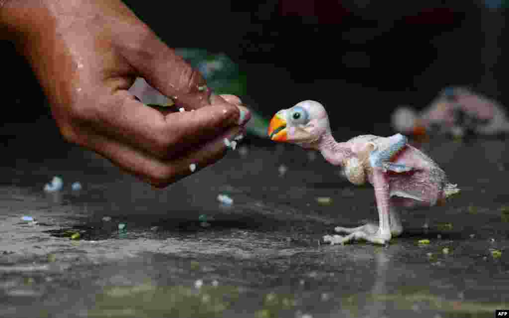 A parrot hatchling is fed by hand in Dimapur, India, after being caught in a forest by a local hunter and offered for sale in the northeastern state of Nagaland. Wildlife of all types is frequently hunted either for consumption or for sale to residents. Despite a ban since 1990-91 on trade in all Indian bird species, hundreds of parrots are collected and traded annually in India. (AFP)