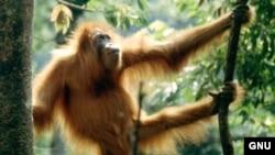 "Орангутанг с острова Суматра, Индонезия. <a href= ""http://en.wikipedia.org/wiki/Image:Man_of_the_woods.JPG"" target=_blank>GNU Free Foundation</a>."
