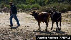 Ağcabədidə mal bazarı