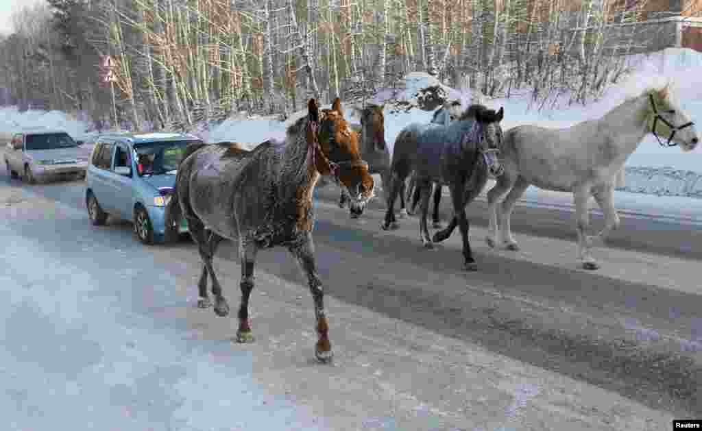 Horses walk in front of cars along a highway on a frosty winter day outside Krasnoyarsk, Siberia. (Reuters/Ilya Naymushin)