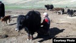 Топоз саап аткан мургабдык кыргыз келин. Тажикстан. (Иллюстрациялык сүрөт).