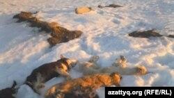 Фото мертвых собак прислала Ирина Кудрявцева, жительница села Гастелло в Акмолинской области. Фото получено через мессенджер Whatsapp.