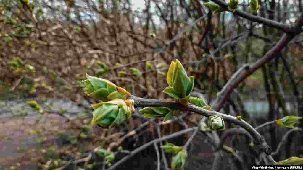 Tereklerniñ ilk yapraqları peyda ola