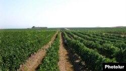 Armenia -- A vineyard in the southern Armavir province.