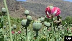 Посевы опиумного мака в афганской провинции Кунар. Май 2014 года