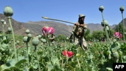 A member of the Afghan security forces destroys an illegal poppy crop in the Noor Gal district of eastern Kunar province earlier this year.
