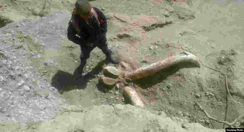 На месте обнаружения останков доисторического животного выставлена охрана из сотрудников милиции, установлено ограждение. Ожидается приезд ученых из Национальной академии наук