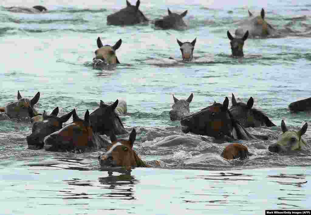 Wild ponies swim across the Assateague Channel during the 93rd annual Pony Swim from Assateague Island to Chincoteague in Chincoteague, Virginia. Every year, the wild ponies are rounded up on the national wildlife refuge to be auctioned off by the Chincoteague Volunteer Fire Company. (AFP/Getty Images/Mark Wilson)
