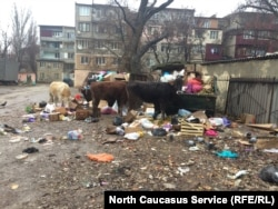 """Коровы, злоупотребляющие """"мусорной"""" пищей, болеют бруцеллезом"""