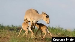 Saiga antelopes (file photo)