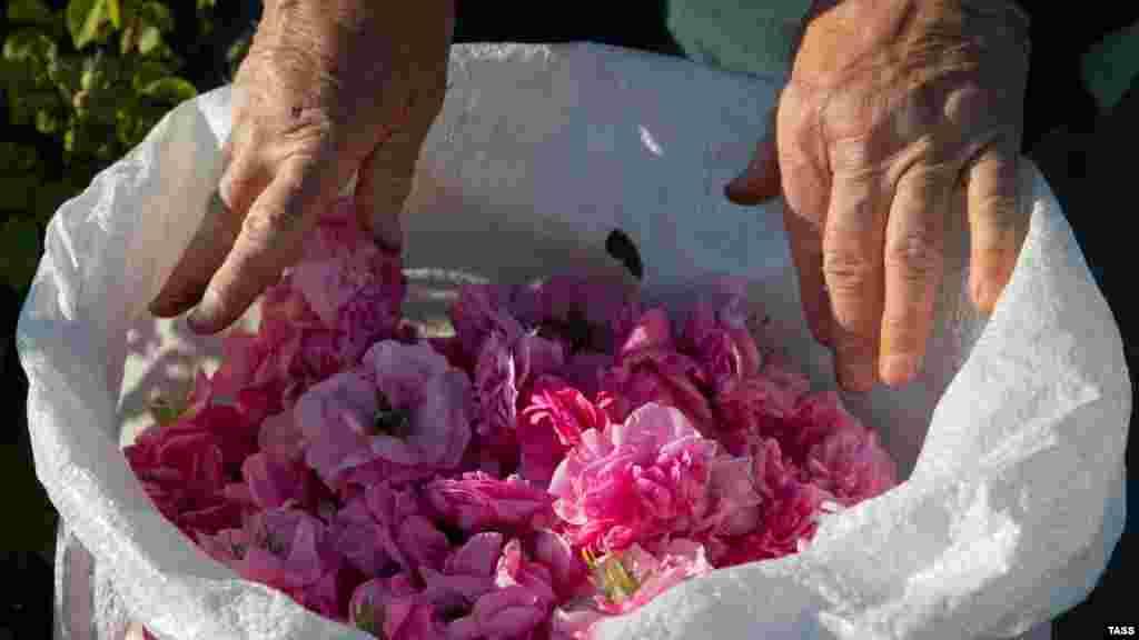 Собранные цветы с полей сразу отправляют на производство. Из лепестков делают гидролат – розовую воду. Она служит основой для кремов, лосьонов, мыла, шампуней и других косметических средств. Как проходил сбор урожая роз – смотрите в фотогалерее Крым.Реалии