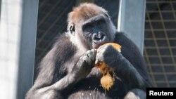 Ашкабак жеп отурган горилла.