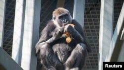 U najsiromašnijim dijelovima svijeta ljudi love primate kako bi se prehranili
