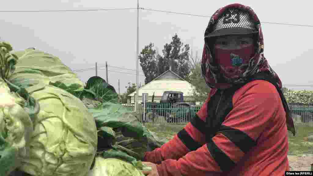 Капуста сұрыптап тұрған қыз. үркістан облысы, Жетісай ауданы, 29 сәуір 2020 жыл.