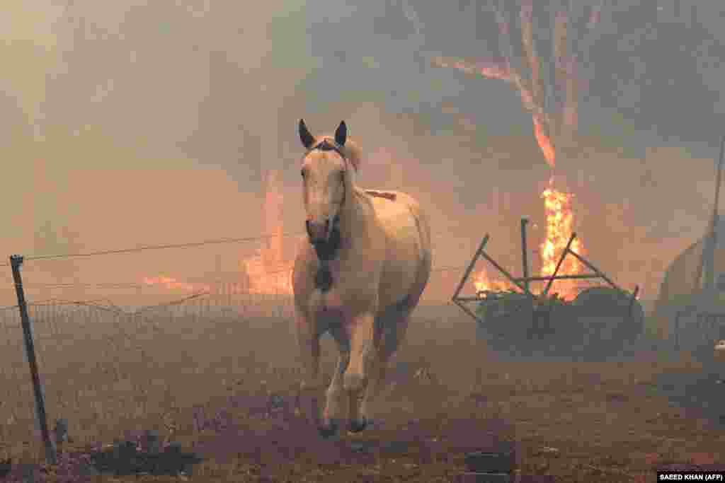 Кінь рятується від вогню. Околиці міста Новра (Новий Південний Уельс). У населені пункти приходять і дикі тварини, які тікають з охоплених полум'ям лісів. У пошуках води і їжі вони приходять в житловий сектор