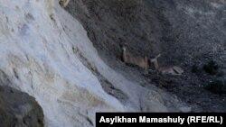 Бекет Ата саганасынын жанында эс алып жаткан сайгактар. Мангыстау облусу. 1-август 2014