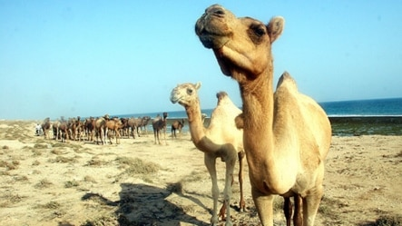 Islamic State has used idyllic images of camel-rearing efforts in Syria to help project an image of normalcy in the territory it controls. (file photo)