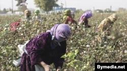 Sabirabad rayon sakini Niyaz Əliyev bildirir ki, xüsusilə qız uşaqları pambığı daha yaxşı yığırlar