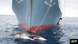 "An Australian Customs Service handout photo from February 2008 shows a whale being dragged toward the Japanese whale catcher ""Yushin Maru"" after being harpooned in Antarctic waters."
