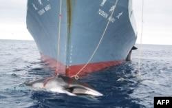 Японское китобойное судно в Антарктике в момент лова. 2008 год