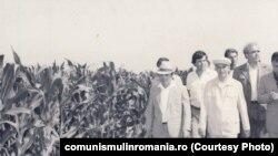 Ceaușescu făcea vizitele de lucru cu o plăcerea autentică. Își punea șapca pe cap și se ducea unde îl purta elicopterul. Aici e în vizită la CAP Ciocârlia, județul Constanța (12 iulie 1984). Sursa: comunismulinromania.ro (MNIR)
