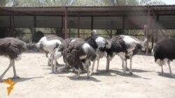 تربية طائر النعام لأول مرة في بابل