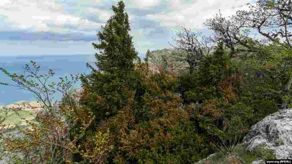 У скельній ущелині – один з двох найстаріших кримських тисів-гігантів