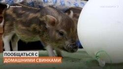 В Сибири появилось кафе с минипигами