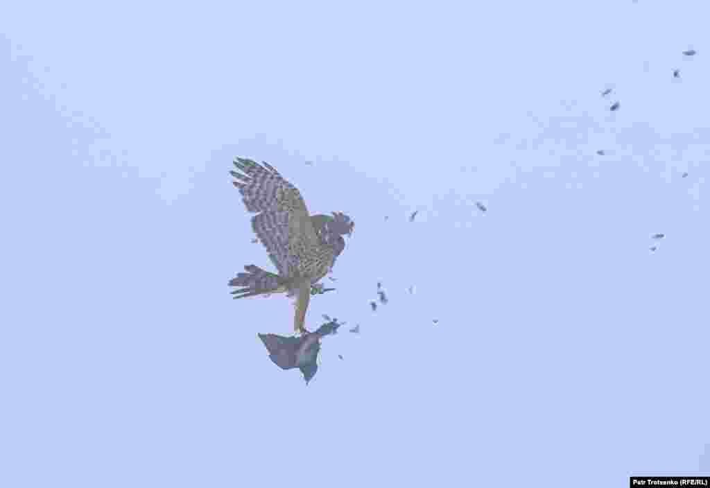 Сокол атакува гълъб в полет.