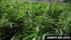 Комісія ООН із наркотичних засобів 2 грудня 2020 року вилучила медичний канабіс зі списку найнебезпечніших наркотиків у світі, повідомив тоді The New York Times