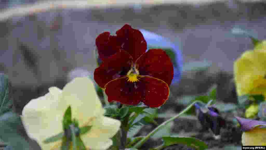 У «суворому» січні на клумбах продовжують цвісти квіти