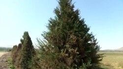 Неожиданно позеленевшие елки
