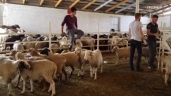 Курбан-байрам: в поисках лучшего барана в Грозном