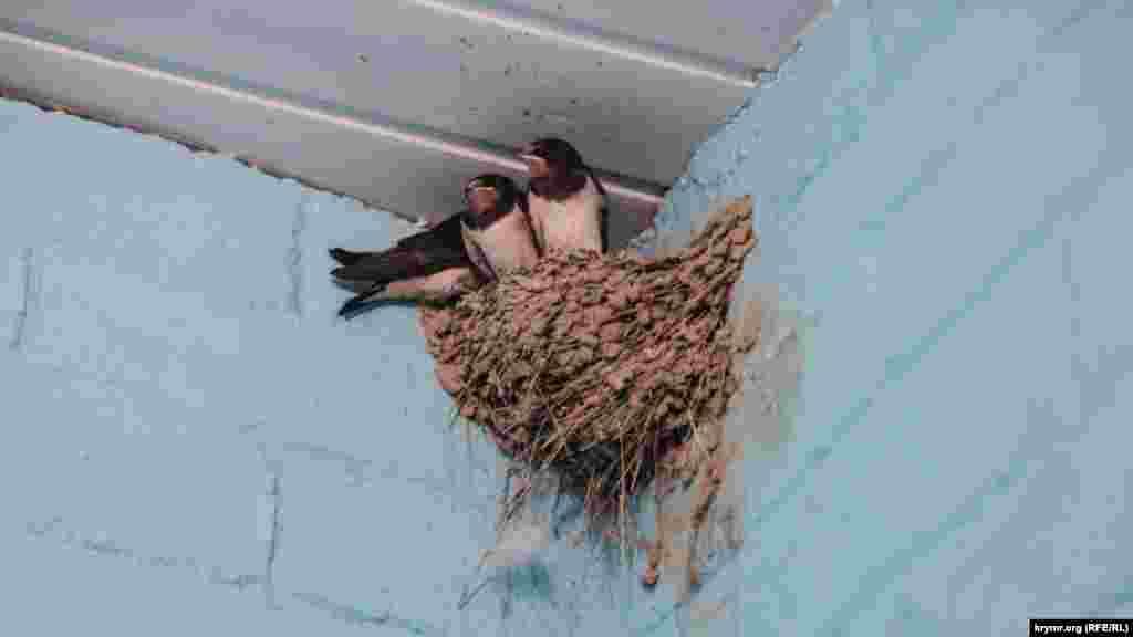 У Курортному – чимало ластівок. Вони в'ють свої гнізда в найнесподіваніших місцях. Наприклад, це гніздо знайшлося у вбиральні прибережної кафешки. Господарі кафе стежать за тим, щоб двері були відчинені, а птахи могли вільно літати туди-сюди